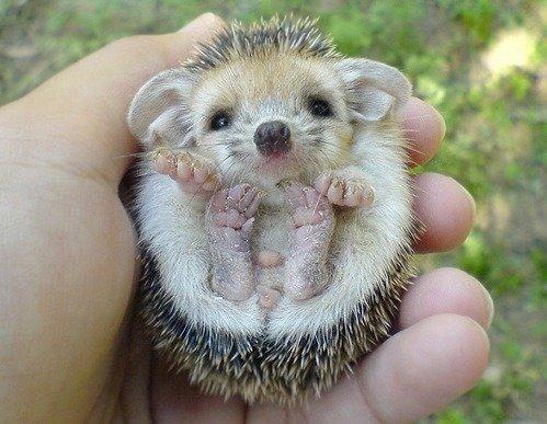 19. Baby Hedgehog