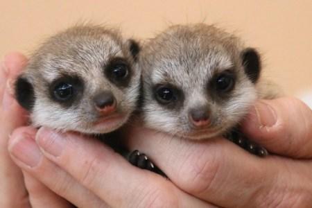 7. Meerkat