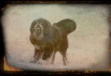 Mastiff-doga-Trutnov