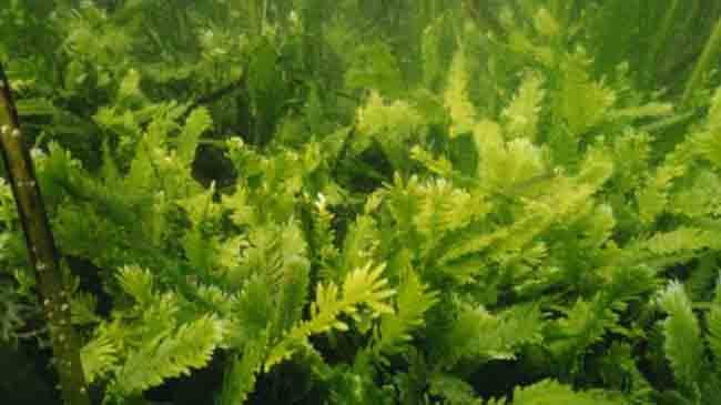 الطحالب القاتلة : وحش تحت المياه يهدد البيئة البحرية