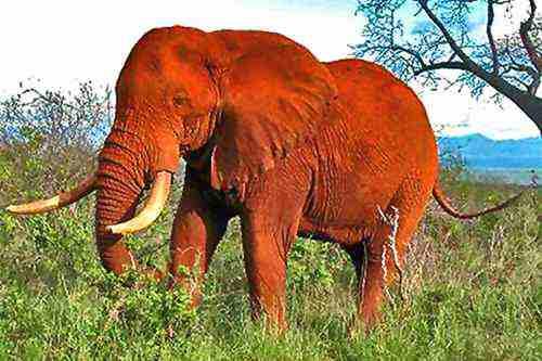 Eléphant rouge - Safaris Tsavo Ouest