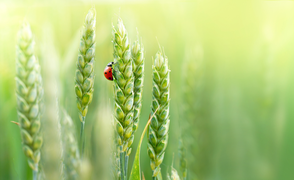 How to Protect Wheat and Other Crops from Insects