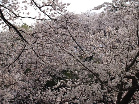 やっぱり井の頭公園の桜が好きだ