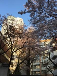 快晴と桜がご褒美!最高に気持ちが良かった7kmラン! [ランログ]