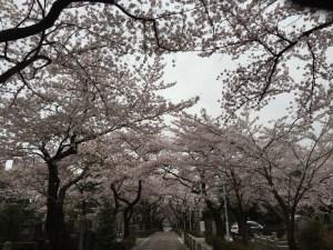 桜のトンネルを突っ走れ!満開早朝10kmラン! [ランログ]