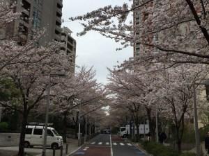 六本木ヒルズの桜はまだまだ満開! ゆったり3kmラン! [ランログ]