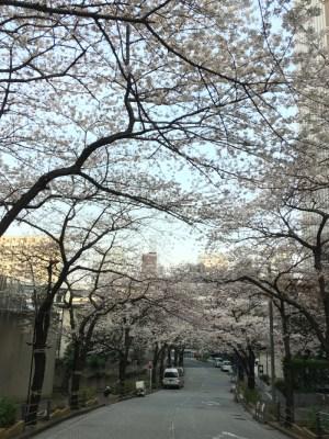 東京都港区 麻布・六本木 桜の名所・お花見スポット紹介 アークヒルズ(スペイン坂、桜坂)