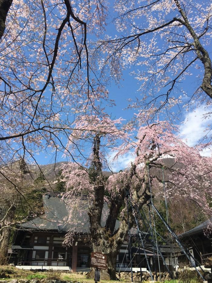 貞麟寺(ていりんじ) 〜 白馬のしだれ桜の絶景スポット!! 桜だらけの境内が素晴らしい!! [2016年4月 長野旅行記 34]