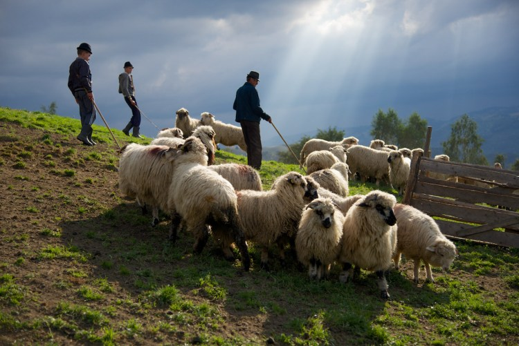 Older Man and Sons with Sheep and Sun Rays in Sheep Fold - Jina, Transylvania, Romania - Copyright 2014 Ralph Velasco