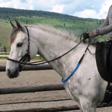 A grey horse wears a blue balance rein