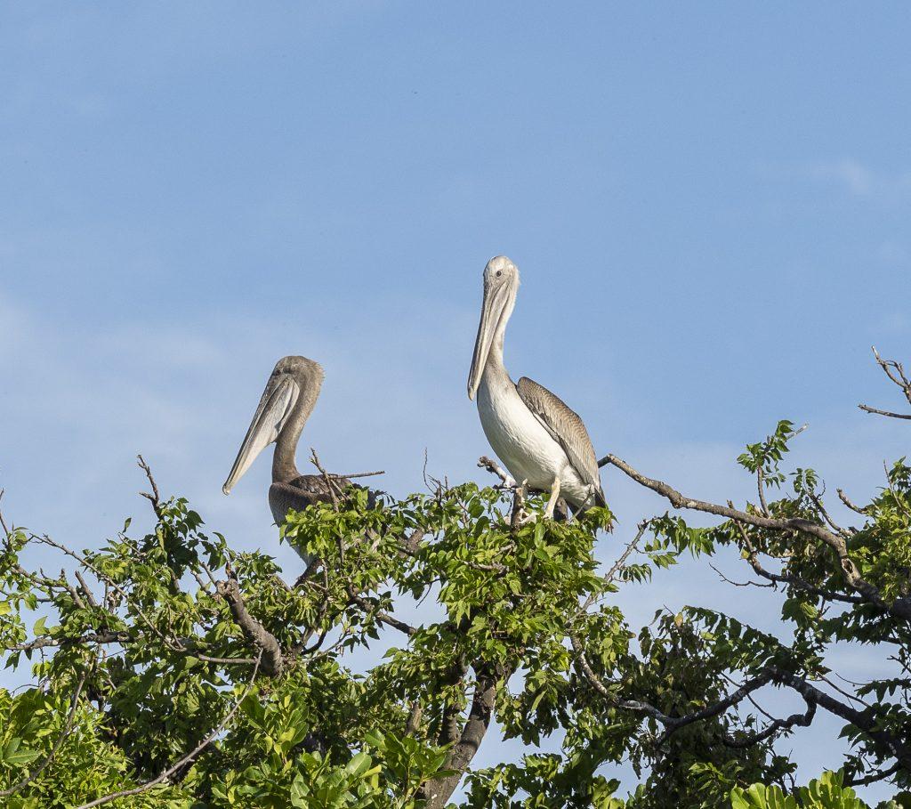 Pelicans on Greater Byrd Island