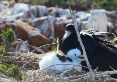 baby birds Galapagos