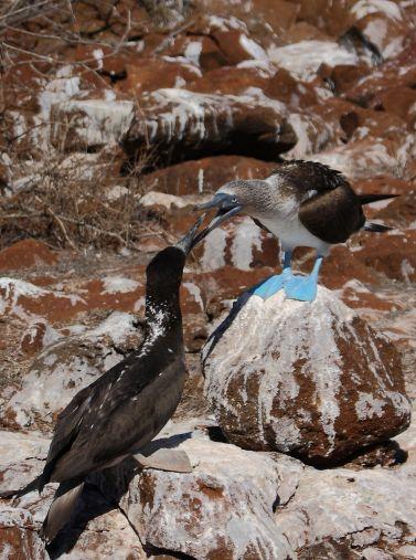 Boobie bird fight Galapagos