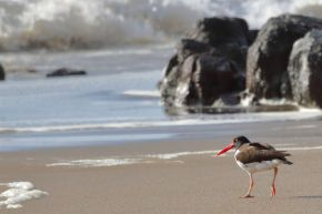 oyster catcher chile