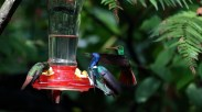 mindo hummingbirds