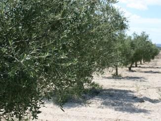 AVA-ASAJA assenyala que només el 18% dels oliverars valencians estan en regadiu, enfront del 29% a Espanya, i reclama un pla de reestructuració de l'oliverar que facilite varietats aptes per a la mecanització, concentració de parcel·les i reg de suport.