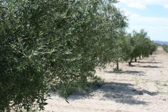 AVA-ASAJA señala que solo el 18% de los olivares valencianos están en regadío, frente al 29% en España, y reclama un plan de reestructuración del olivar que facilite variedades aptas para la mecanización, concentración de parcelas y riego de apoyo.
