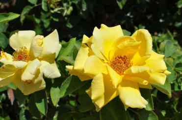 roses in bloom at Gene C Reid Park