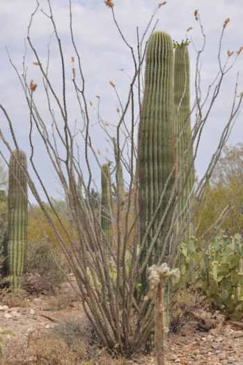 cactus at Arizona-Sonora Desert Museum
