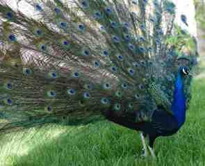 peacock Reid Park Zoo