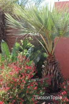 palm tree at Tohono Chul Park