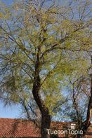 tree on Salpointe Catholic High School campus