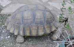 Rocky the Tortoise at The Ritz-Carlton Dove Mountain