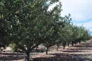 apple trees at Apple Annie's