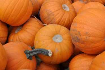 petite pumpkins at Apple Annie's