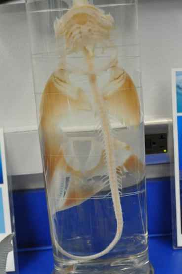 skeleton in the marine discovery room at Flandrau