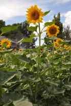sunflower at Apple Annie's