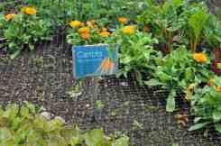 carrots at Desert Botanical Garden