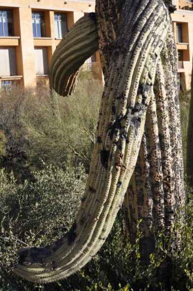 hugging saguaro at JW Marriott Tucson Starr Pass
