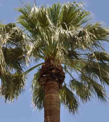 palm tree at Tucson Country Club