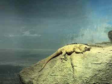 lizard arizona sonora desert museum