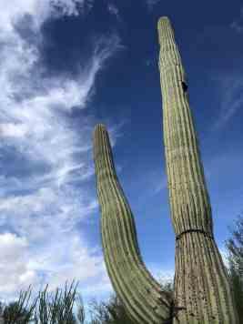 saguaro arizona sonora desert museum
