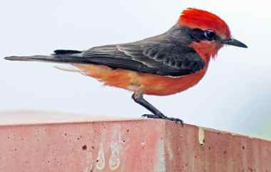 red bird Catalina Park Tucson