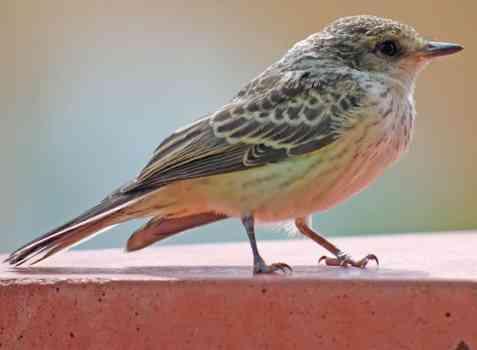 small bird Catalina Park Tucson