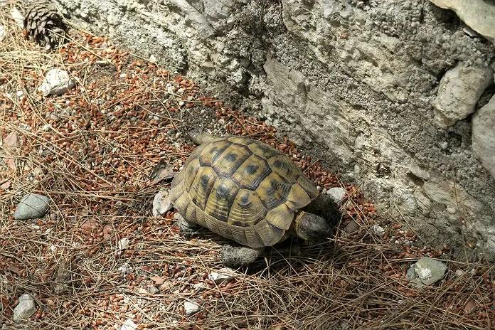 Eine kleine Schildkröte ist am Boden neben einer Mauer zu sehen.