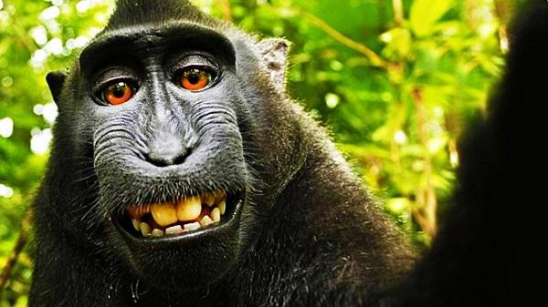 El mono Naruto pierde los derechos de artífice sobre sus distintivos selfies