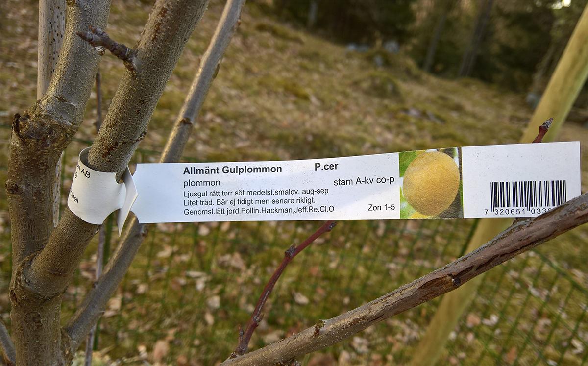 Allmänt gulplommon är ett av Sveriges mest uppskattade plommon. Frukterna är goda med fin balans mellan syra och sötma, trädet blir lagom stort och det är inte knussligt med växtplatsen. Men kan det odlas i morän?