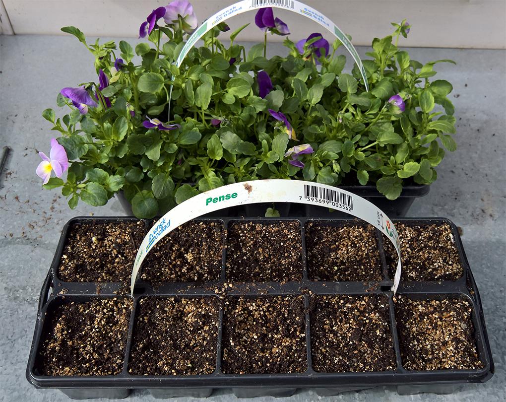 Använd begagnade pluggbrätten från blomsterhandeln. De har bevisligen fungerat för att driva upp småplantorna som du köper. Här används ett sådant som pluggbrätte för frösådd av västeråsgurka.
