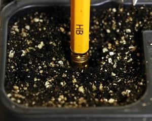 Vi sår fröerna på 1 cm djup. Hålet görs med baksidan av en blyertspenna