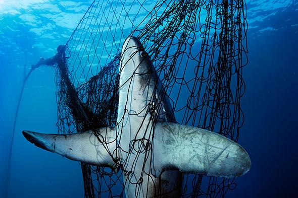 Tiburón atrapado en una red, México. Foto (c) Brian Skerry