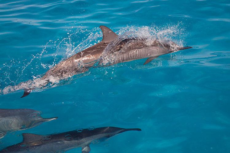 Papahanaumokuakea. Delfines en el atolón de Midway. Foto US Fish and Wildlife Service. Tu Gran Viaje