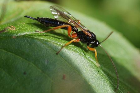Apechthis compunctor. Tribe Pimplini. Onderfamilie Pimplinae. Familie Gewone sluipwespen. Ichneumonidae.