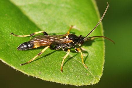 Ichneumon bucculentus.Onderfamilie Ichneumoninae. Familie Gewone sluipwespen. Ichneumonidae.