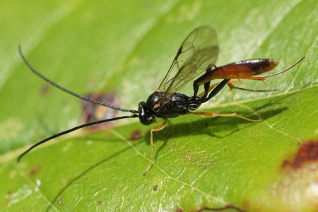 Onderfamilie Campopleginae. Misschien Casinaria spec.Familie Gewone sluipwespen. Ichneumonidae.