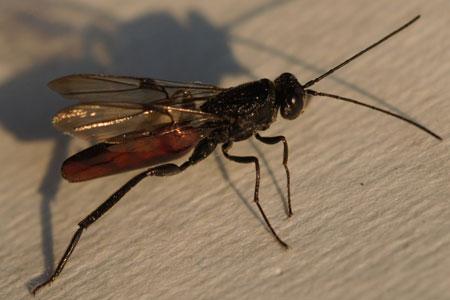 Ibalia leucospoides FamilieIbaliidae, Galwespen (Cynipidae