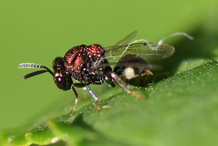 Bronswesp, Perilampus spec uit de familie Perilampidae.